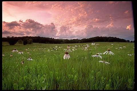 Wildflowers blooming in the Tallgrass Prairie Preserve in northern Oklahoma. Photo by Harvey Payne, Director, Tallgrass Prairie Preserve.